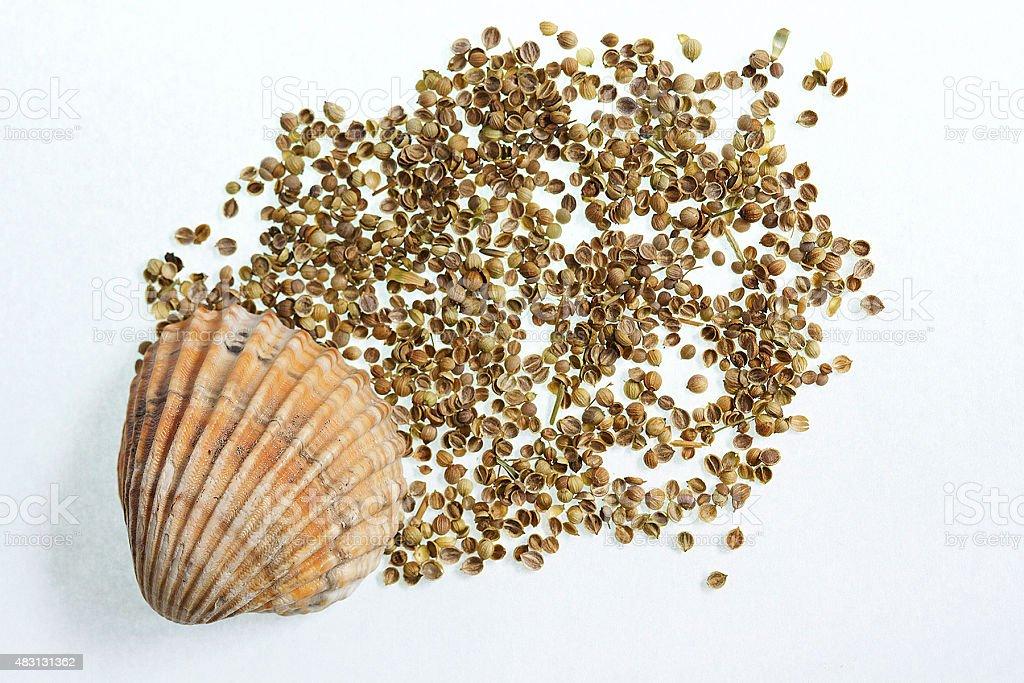 Coriandolo e Shell foto stock royalty-free