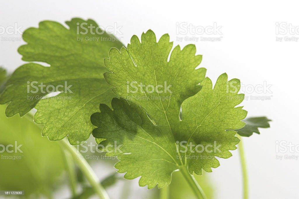 coriander close up royalty-free stock photo