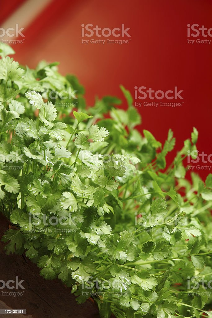 Coriander Herb growing in Pot Kitchen Garden royalty-free stock photo