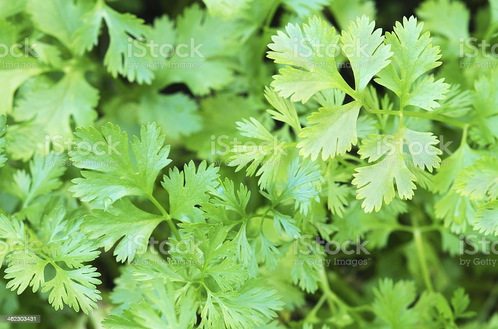 Coriander Herb leaves detail stock photo