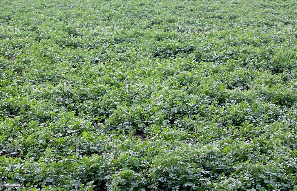 Fleurs feuilles de coriandre avec photo libre de droits
