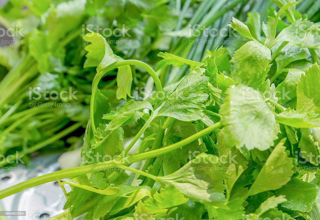 coriander stock photo