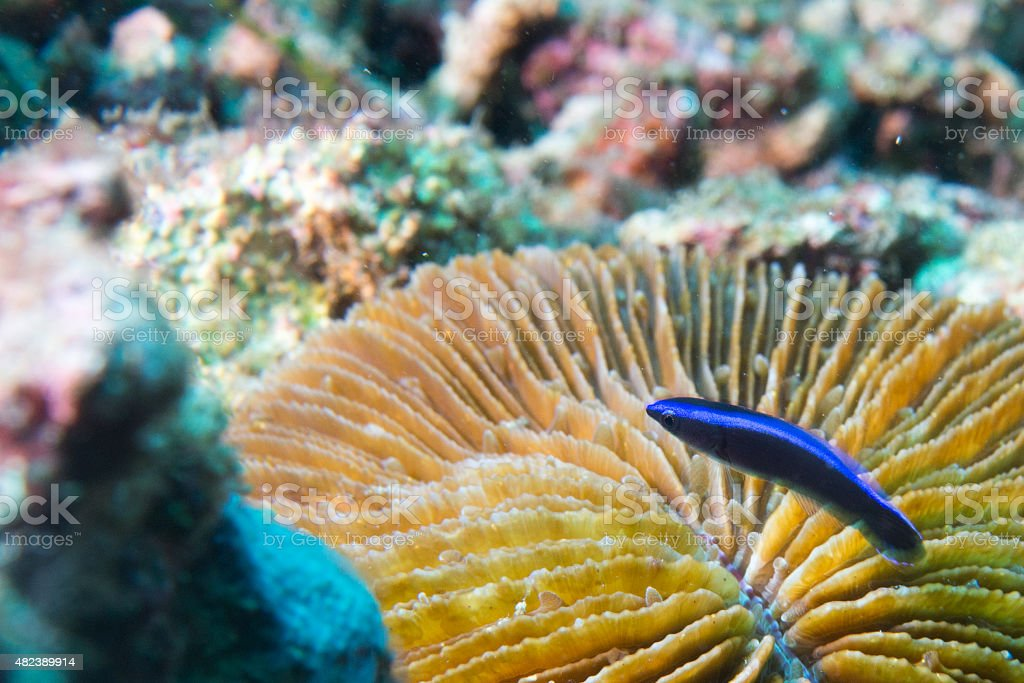 Coris rainbow wrasses fish portrait stock photo