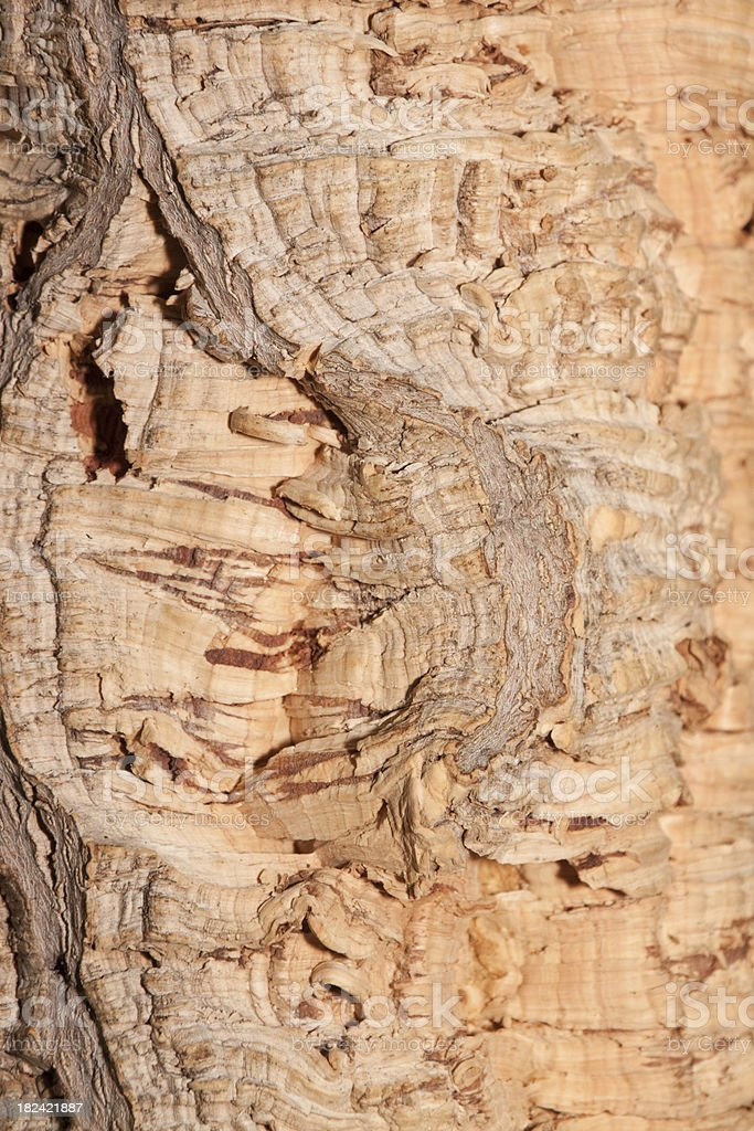 Cork Oak stock photo