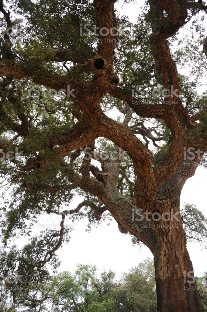 Korkeiche - Baum - Spanien stock photo