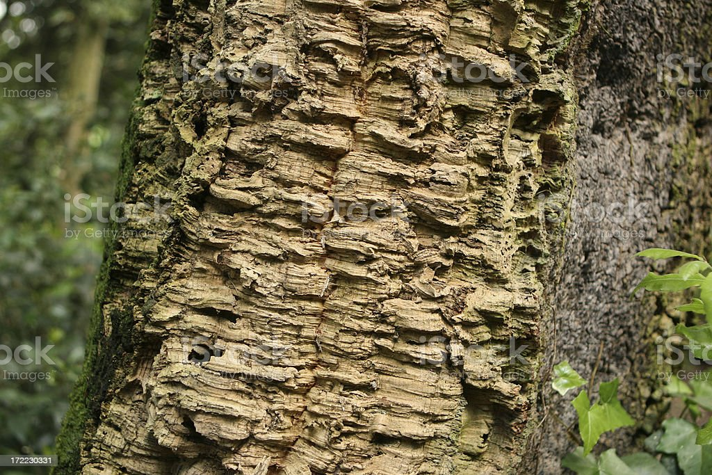 Cork tree close-up royalty-free stock photo