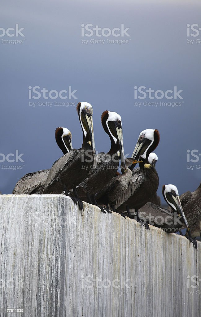 Cormorant and Brown Pelicans, Beaufort, SC. royalty-free stock photo