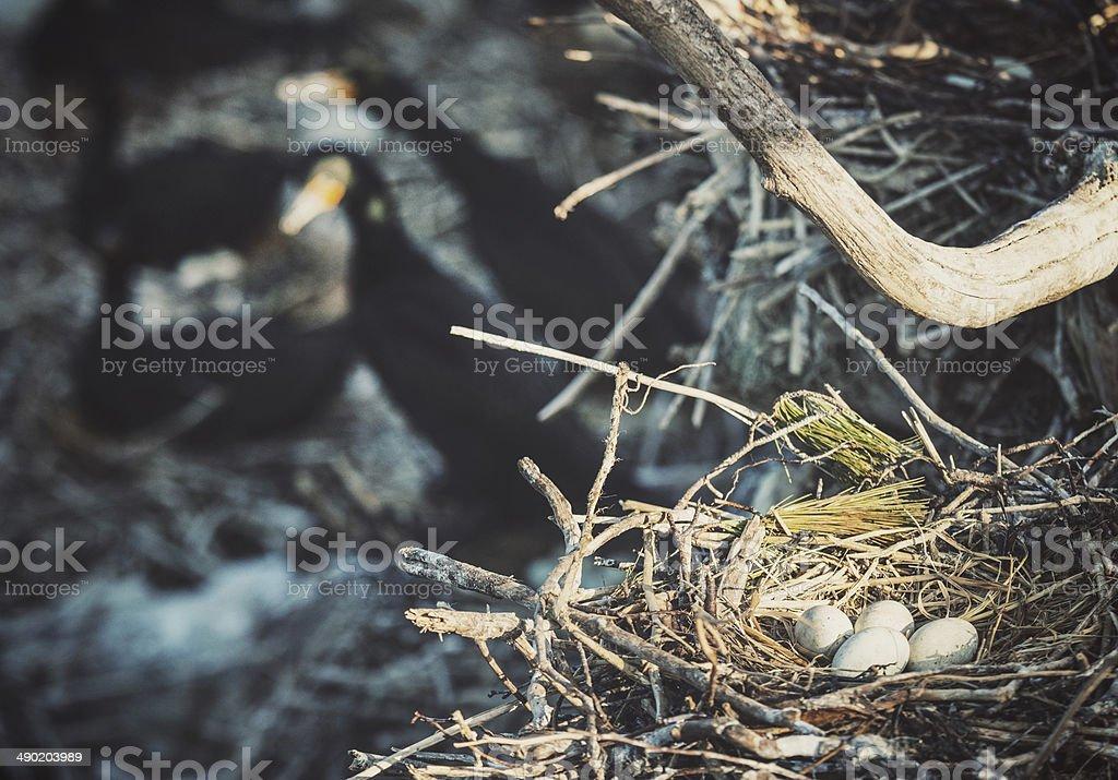 Cormorant Colony royalty-free stock photo