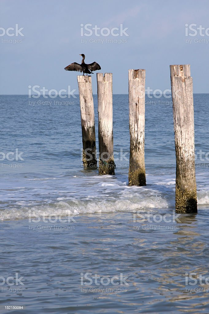 Cormorant Drying His Wings stock photo