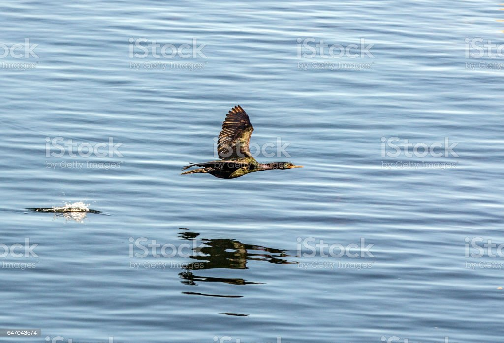 cormorant flying over the pacific ocean stock photo