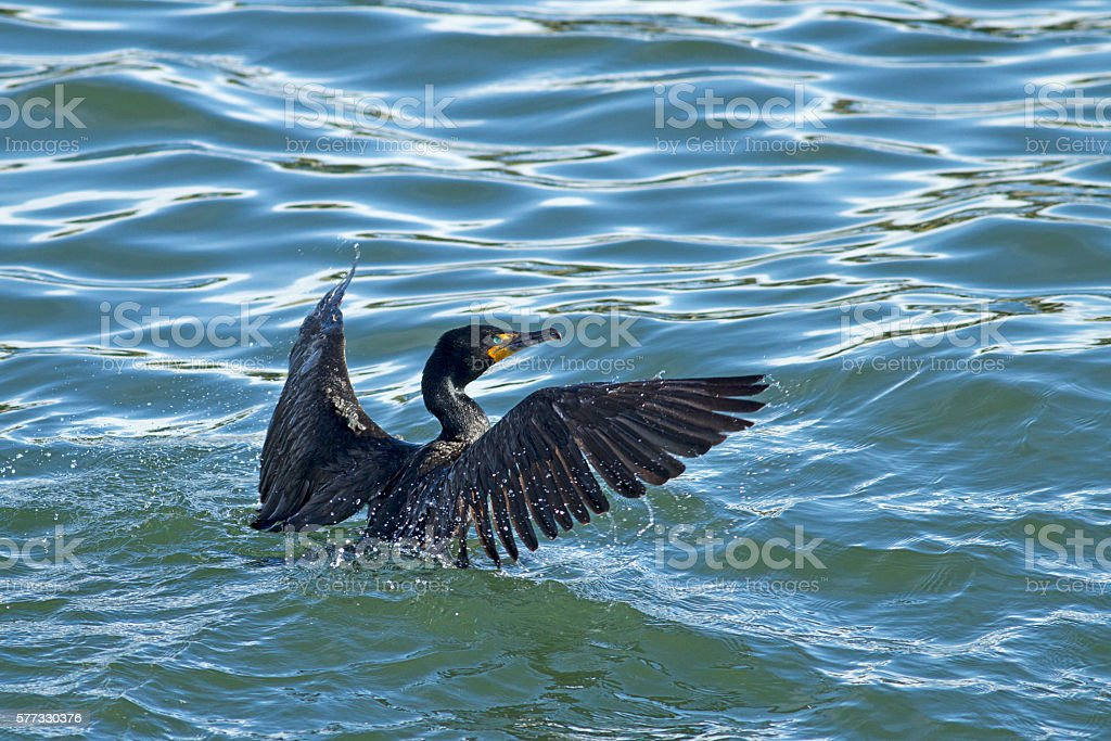 Cormorant in the water. stock photo