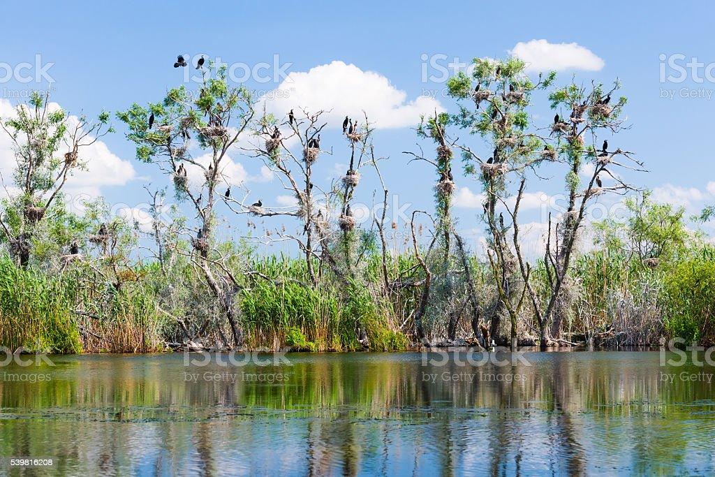 Cormorant nests in tree stock photo