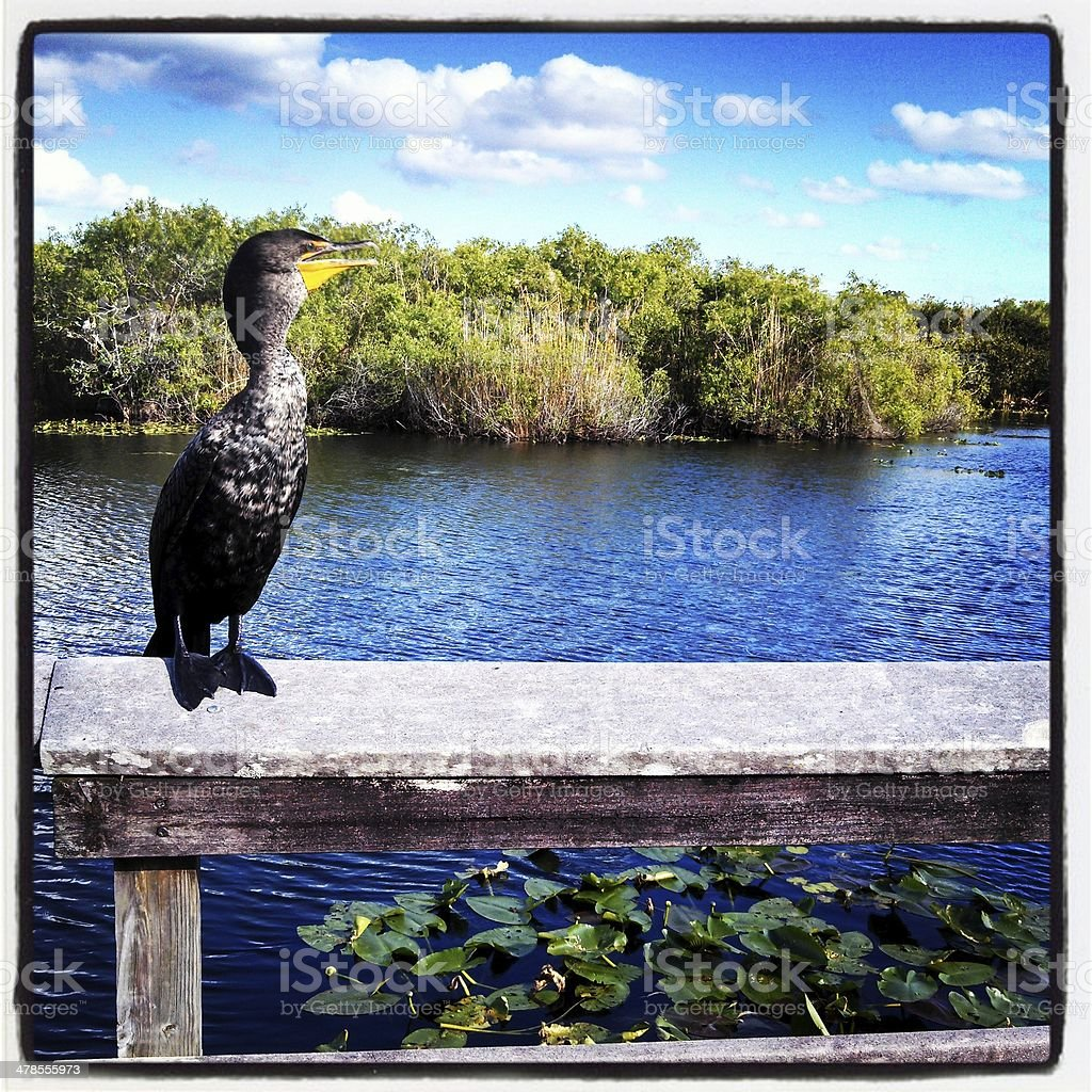 Cormorant on Anihinga Trail in the Everglades National Park royalty-free stock photo