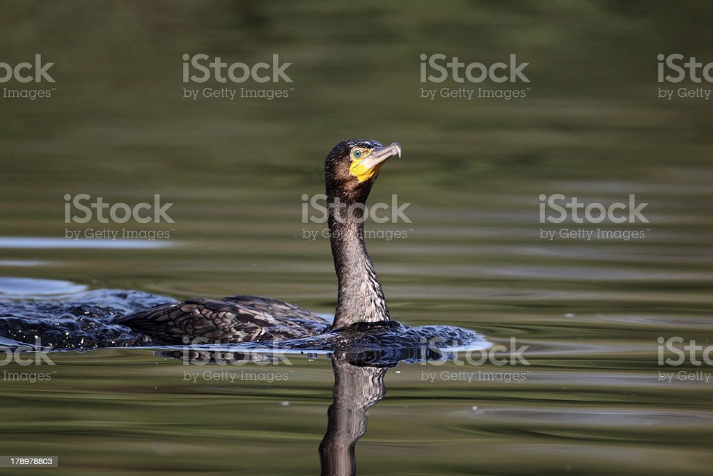 Cormorant, Phalacrocorax carbo royalty-free stock photo