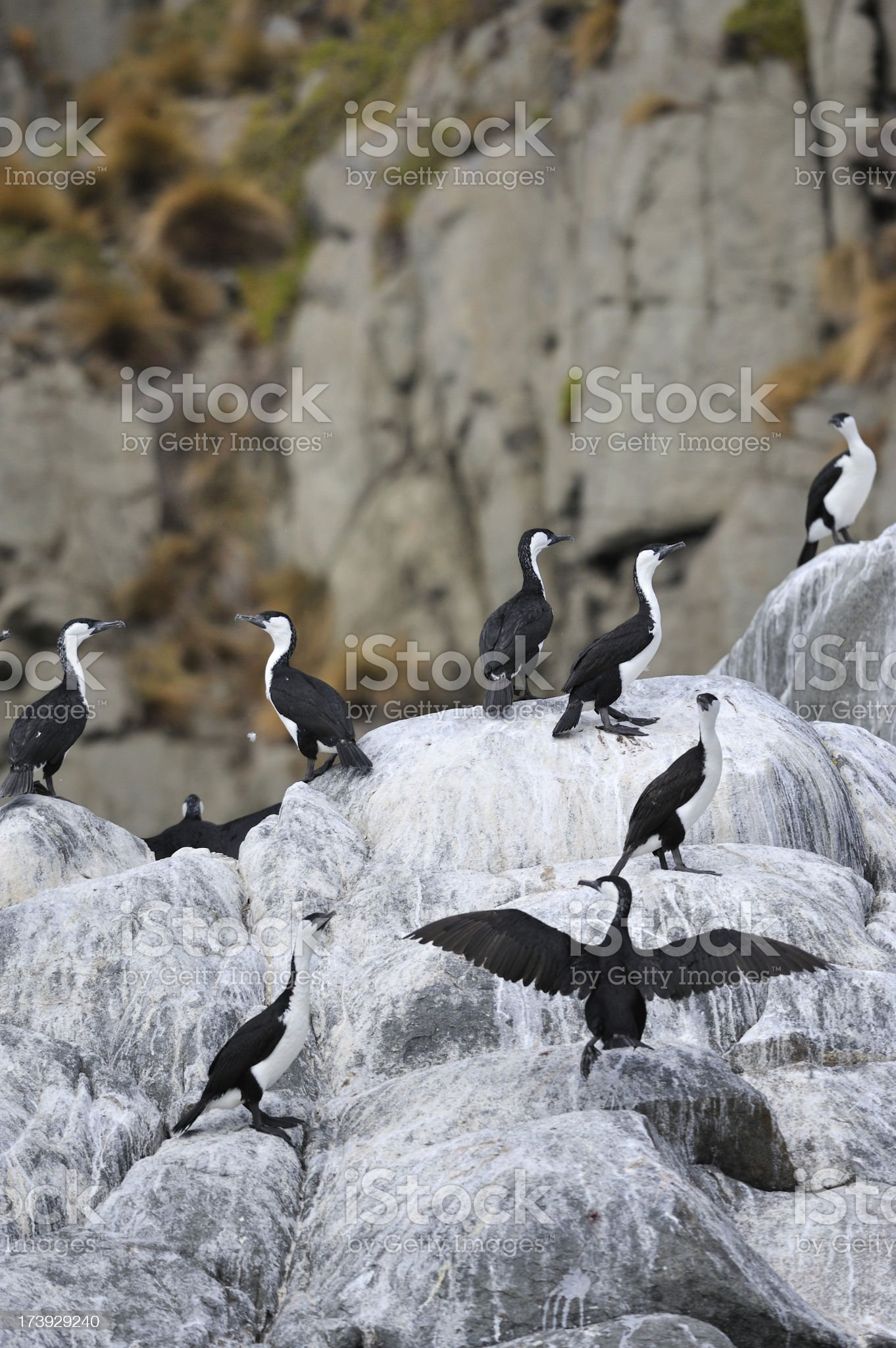 Cormorant royalty-free stock photo