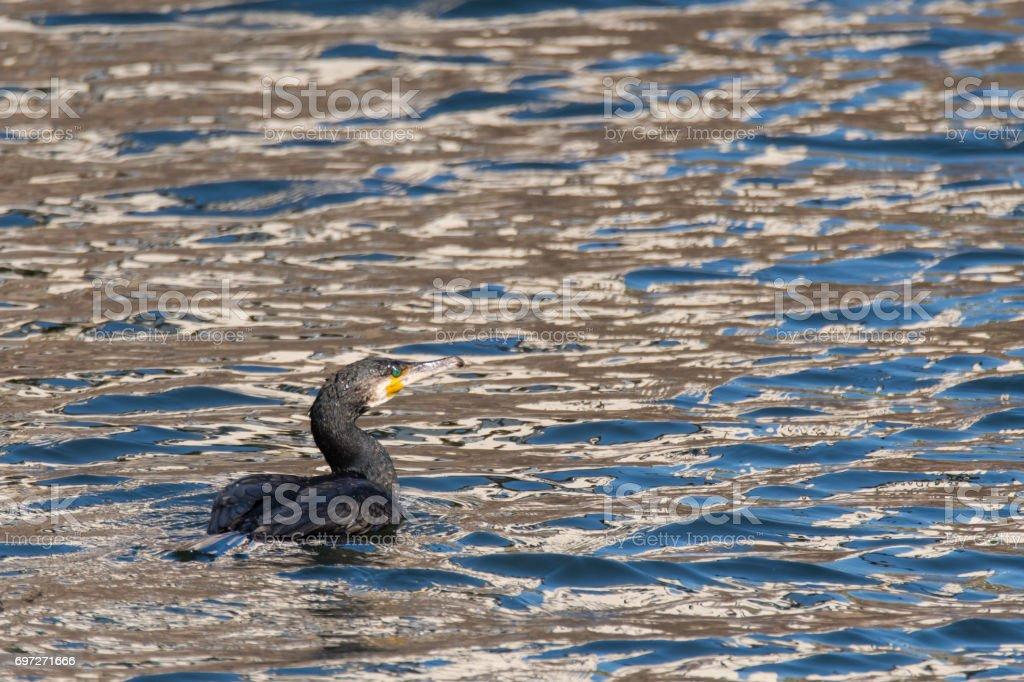 Cormorant (Phalacrocorax carbo) swimming on lake stock photo