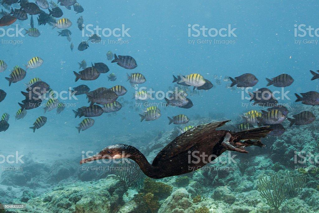 cormorant while fishing underwater in bait ball stock photo