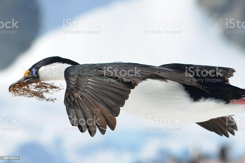 Cormorant Wings stock photo