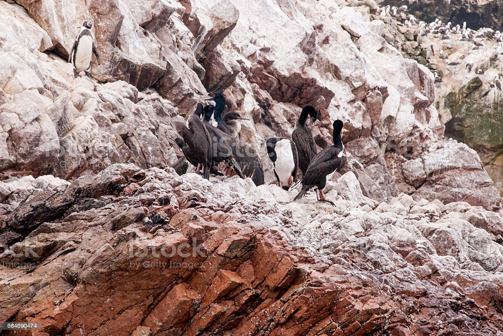 Cormorants and Penguins On The Ballestas Islands  – Peru stock photo