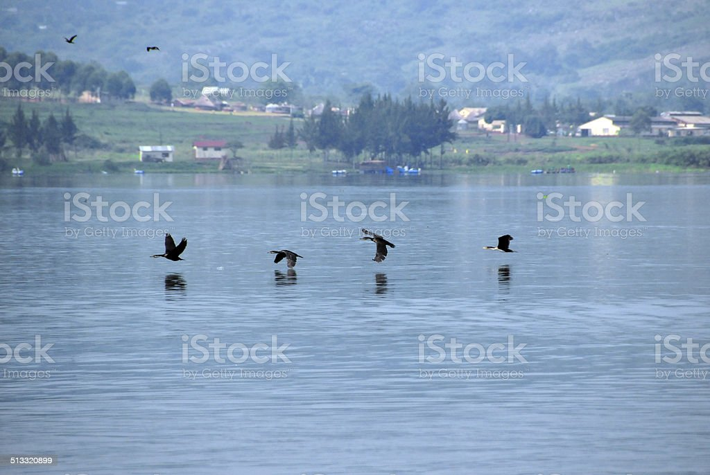 cormorants flying low over the water stock photo