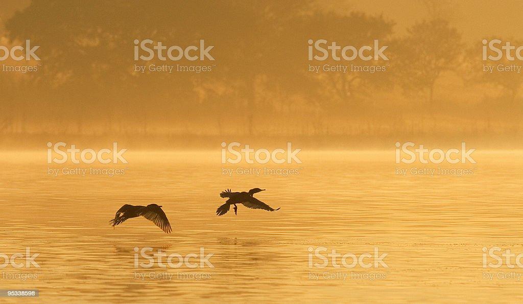 Cormorants on Foggy Pond royalty-free stock photo