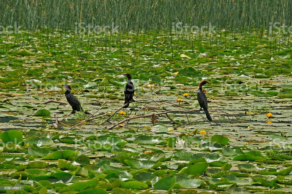Cormorants standing on branch stock photo