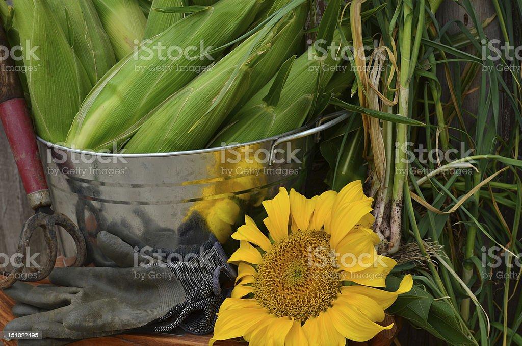 Corn and garlic harvest w/silver tub-close up stock photo