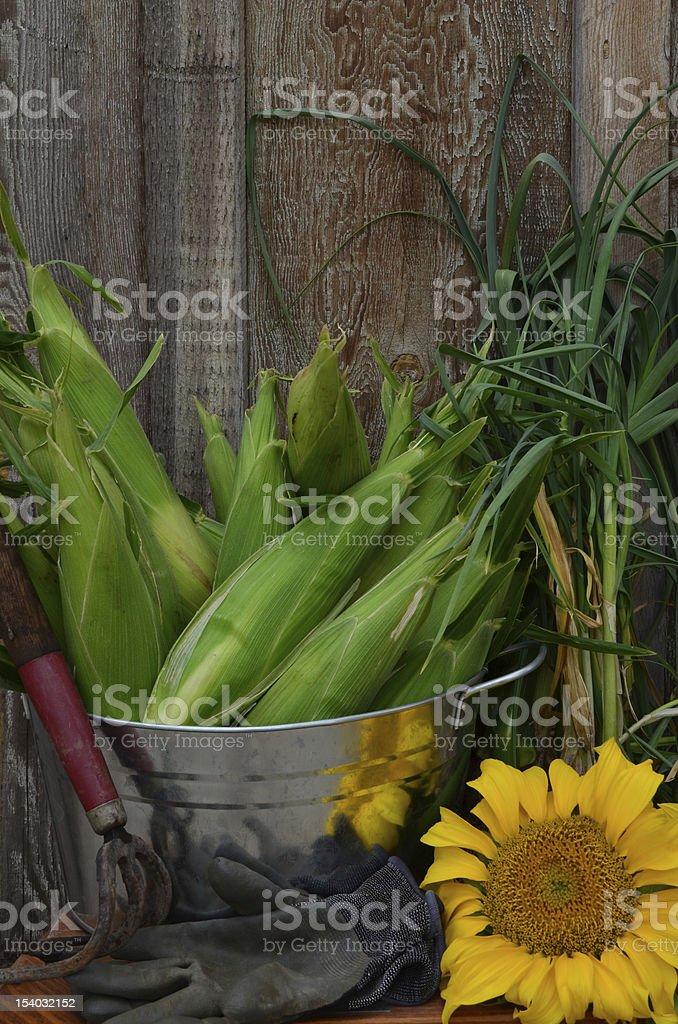 Corn and Garlic harvest-isolated on barnwood background stock photo