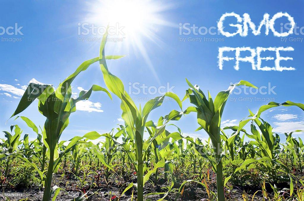 Corn and sun royalty-free stock photo