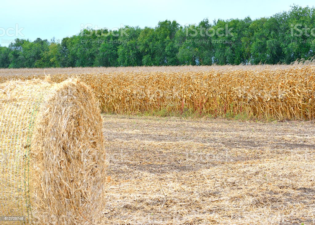 Corn bales, Harvesting a Cob stock photo