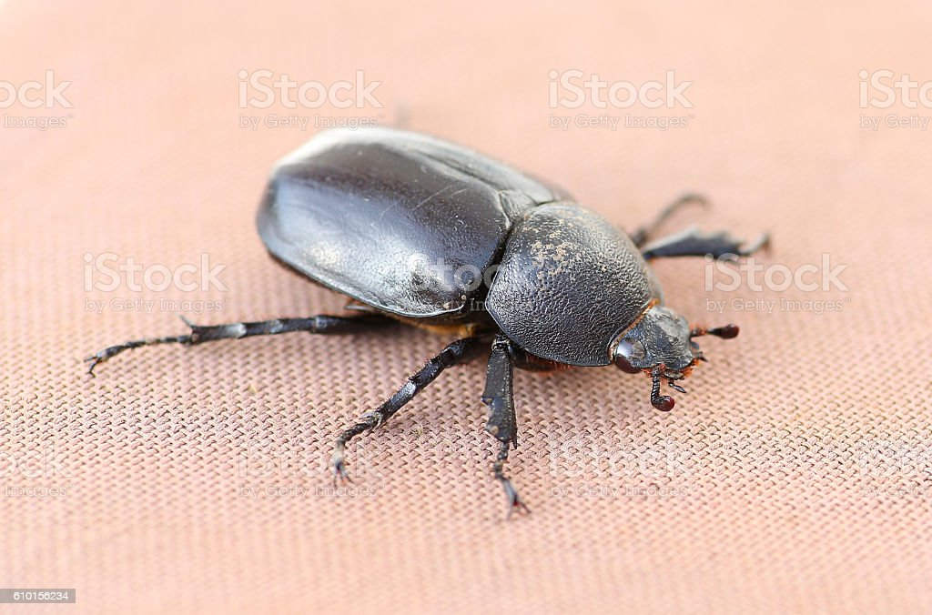 corn beetle sex female stock photo