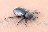 corn beetle sex female