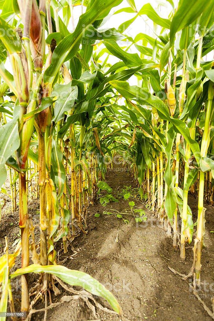 Corn before harvesting royalty-free stock photo