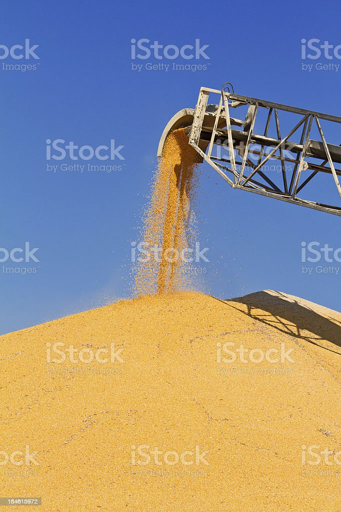 Corn being stored in large piles at grain elevator stock photo