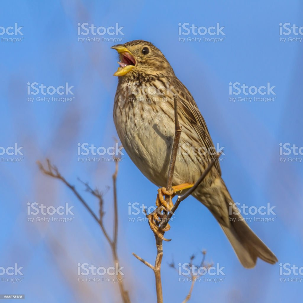 Corn Bunting singing from high position stock photo