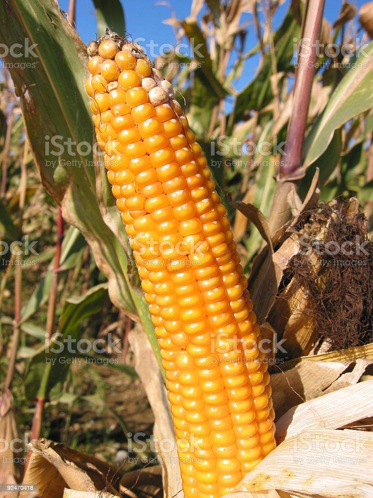 corn cob No.1 royalty-free stock photo