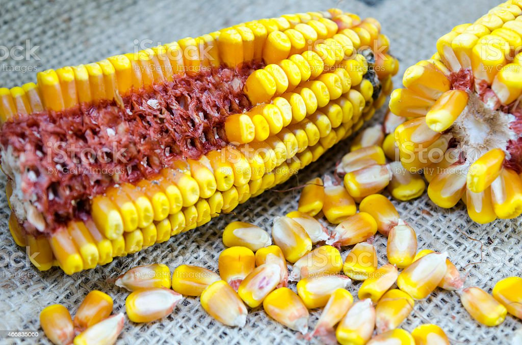 Corn cobs and corn grains on a tablecloth royalty-free stock photo