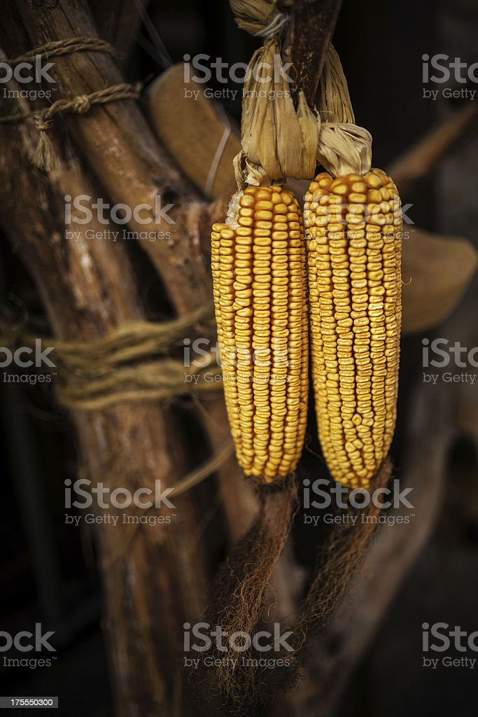 corn cobs royalty-free stock photo
