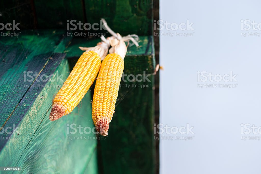 Corn Cobs with Copy Space stock photo