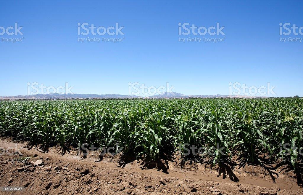 Corn Country stock photo