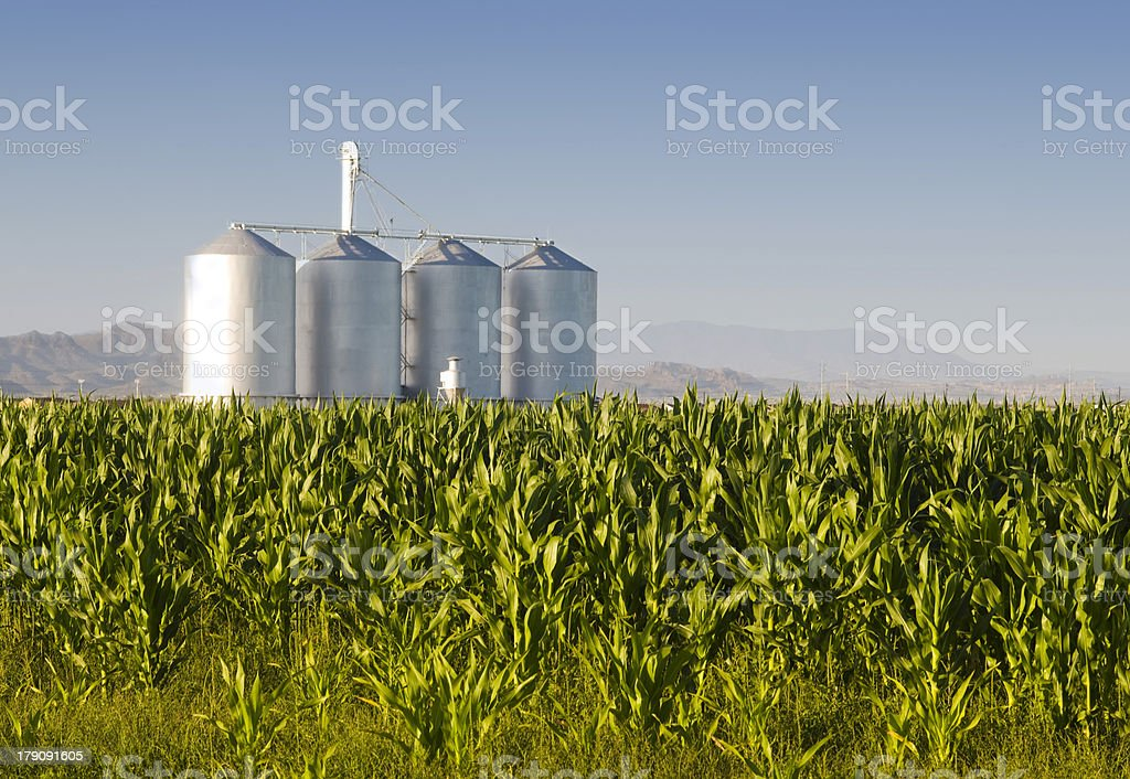 Corn crop and silo's in Gilbert, AZ royalty-free stock photo