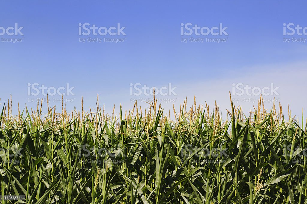 Corn Crop Cereal in Farm Field of Minnesota, Midwest USA royalty-free stock photo