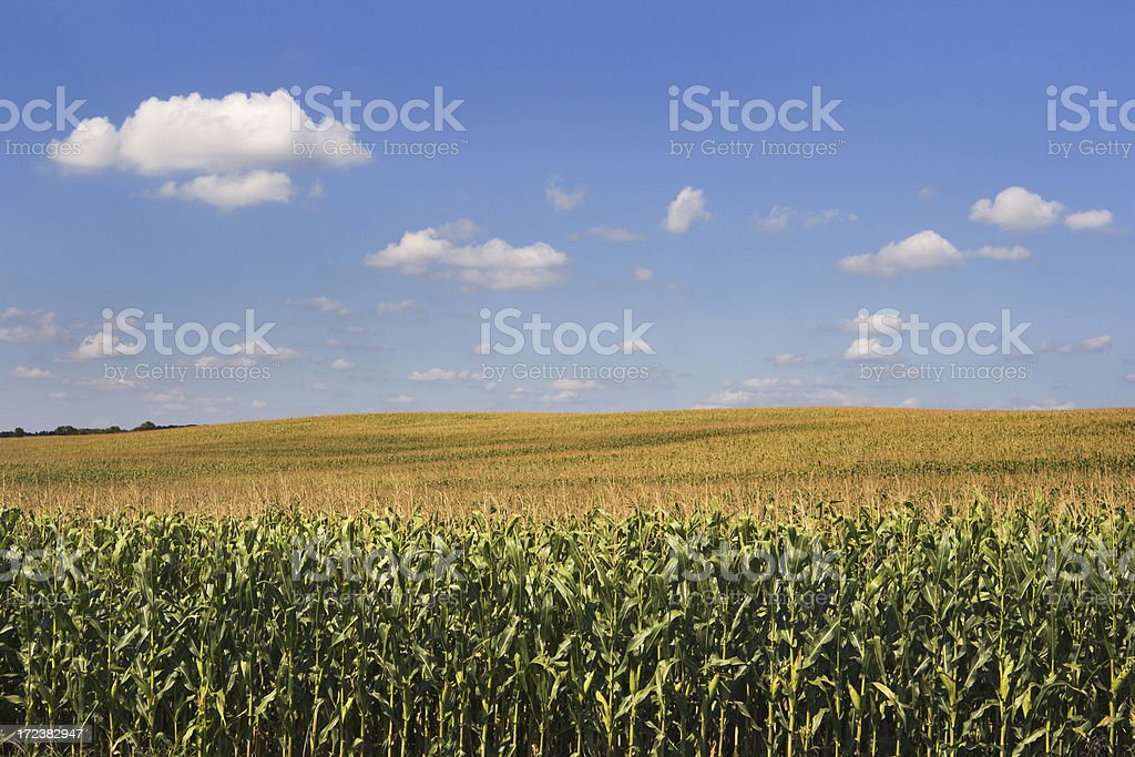 Corn Crop Cereal Plant in Agricultural Farm Field Rural Landscape stock photo
