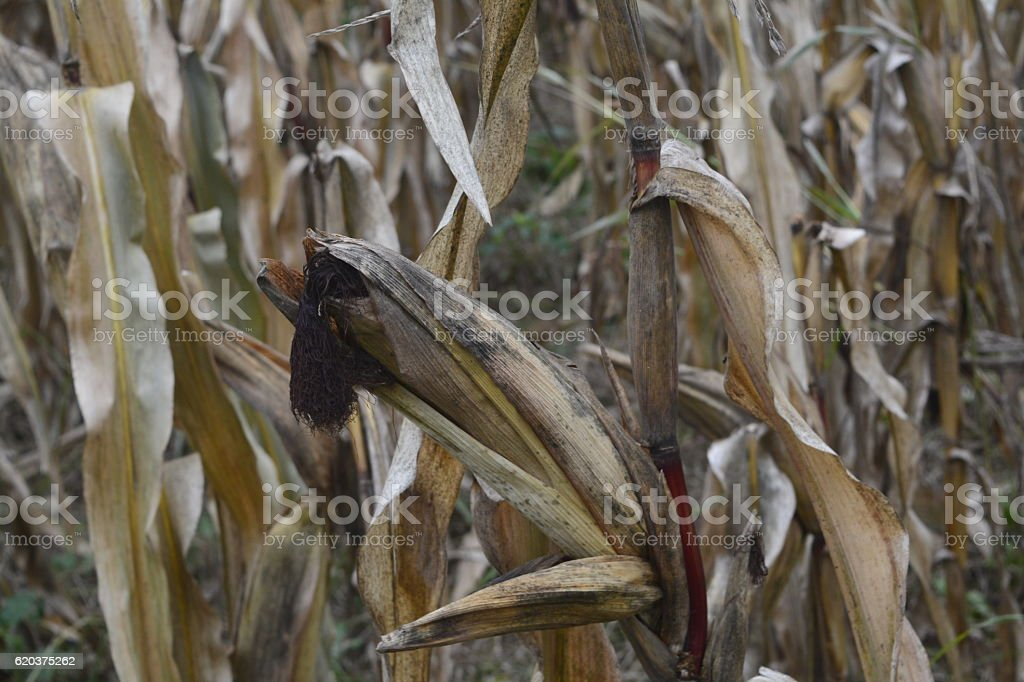 Corn Crop Destroyed By Drought stock photo