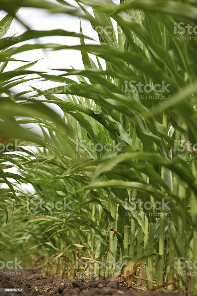 Corn Crop in drought stock photo
