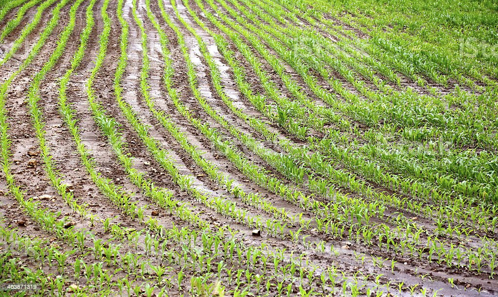 Corn crop in wet and flooded field royalty-free stock photo