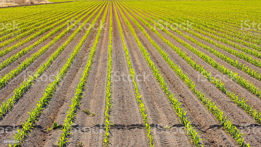 Corn crop just planted in rows on Idaho farm stock photo