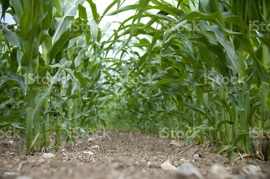Corn Crop stock photo