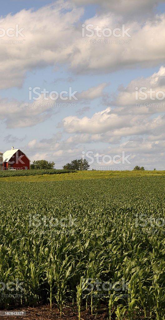 Corn Crop royalty-free stock photo