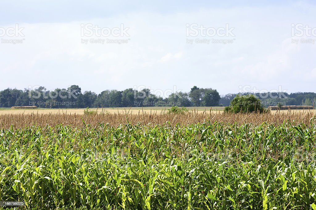 Corn Crop royalty-free stock photo